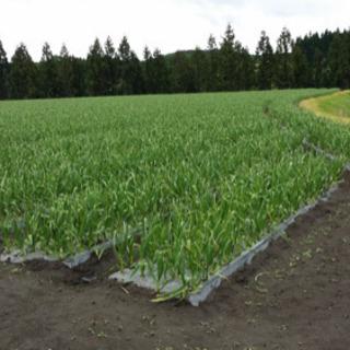 ニンニク収穫作業 - 軽作業