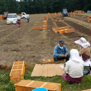 ニンニク収穫作業 − 青森県