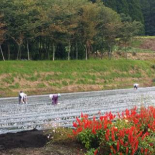 ニンニク収穫作業 - 十和田市