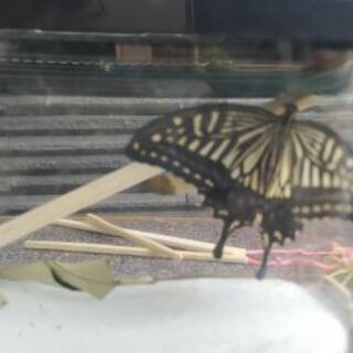 今朝、蝶になりました。