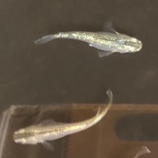 めだか 緑光 (りょくこう) 稚魚 10匹