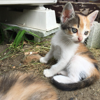 4月25日生まれの猫ちゃんメス2匹里親募集! - 長生郡