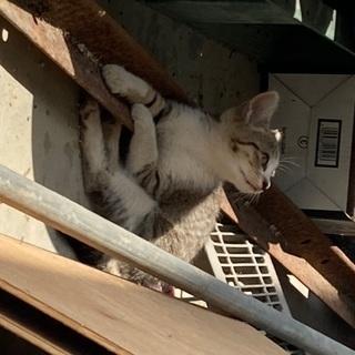 とても人懐こいサバ白の子猫です。6/14まで