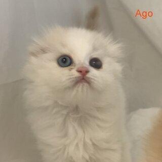 スコティッシュフォールド子猫ハンディのある仔猫 本文をよく…
