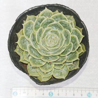 多肉植物 韓国苗 エケベリア オンスロー