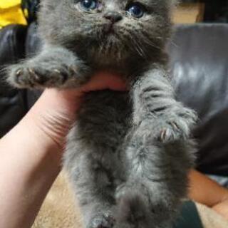 エキゾチックロングヘアー子猫