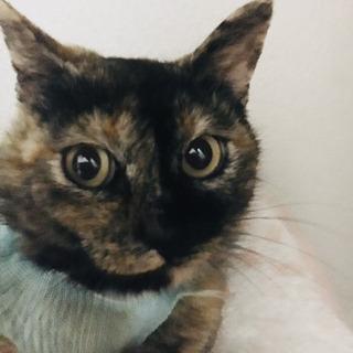 【急募】避妊手術済⭐️美猫な成猫❤️賢い子です⭐️