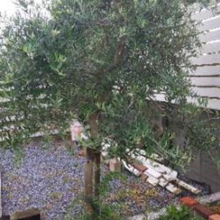 オリーブの木 ※引渡し予定者決定しました。