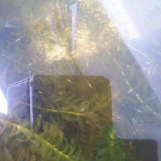 メダカの稚魚、幼魚30〜80匹程度