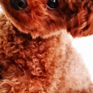 トイプードル 4歳 オス 2.2kg 茶色