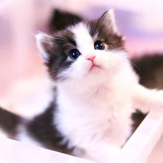 ノルウェージャンフォレストキャット ブラック&ホワイト 子猫