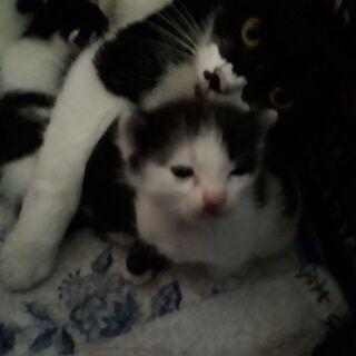 白黒子猫 我が家の猫が赤ちゃん産みました