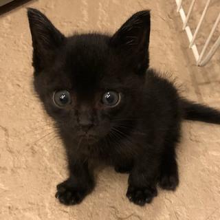 美猫になる予感。。おチビな黒猫ちゃん♂