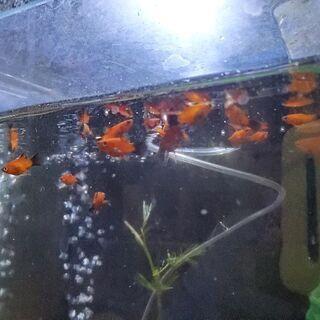 バルーンプラティ 稚魚
