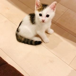 キジ白オス推定2カ月☆人懐っこさ猫1倍!