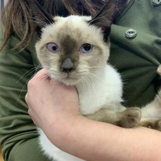 《温かいご家族のいち猫になれました》令和元年 11月頃生まれの女の子