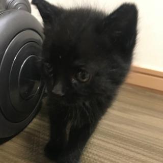 子猫 黒猫 里親さんを募集します。