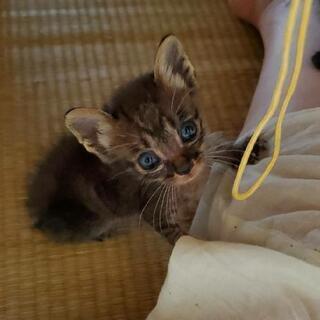 クリクリお目目の可愛い子猫。里親募集(代理)