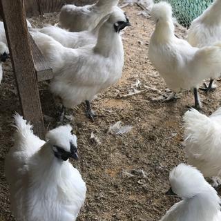 東京で烏骨鶏の朝取れ玉子体験しませんか?