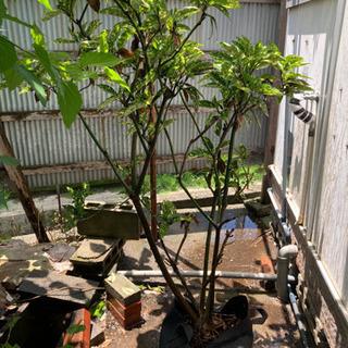 鉢植え 斑入りアオキ 常緑樹 観葉植物 高さ150センチ強の画像