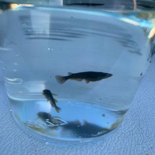 キビレオロチの稚魚