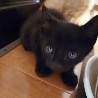 黒猫ちゃんの里親募集 生後1ヶ月