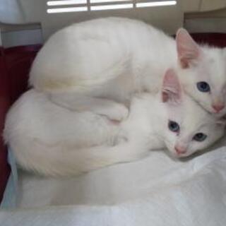 【応募殺到により一旦募集停止します】白猫の新しい家族募集中!20...