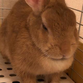 里親募集ウサギ(ネザーランドドワーフ)