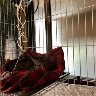 「再投稿」野良猫の子猫を保護しました トラ柄3ヶ月程度<飼主不在...