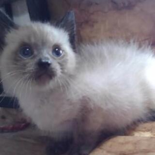 シャムMix男の子 ブルーアイ 生後1ヶ月 里親募集 - 猫