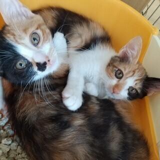 三毛姉妹 2か月半齢