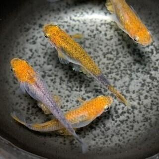 メダカ 漁火 有精卵 35個+α  発送可能