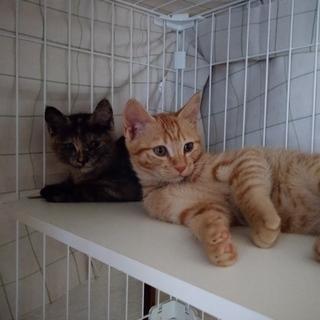 生後約2か月の子猫兄妹の里親募集