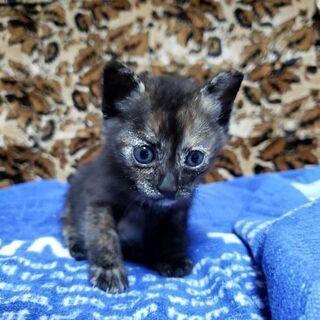 保護猫です(生後1ヶ月さび柄  メス)