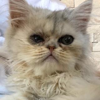 生後3ヶ月のペルシャ猫チンチラシルバー