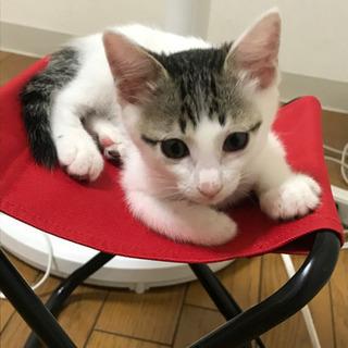 里親募集 生後2〜3か月 白い子猫ちゃん 女の子