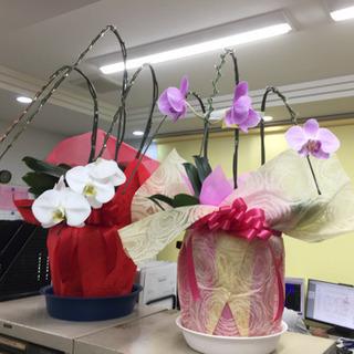 胡蝶蘭2鉢