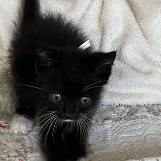 ★再募集★里親さん募集★白い靴下履いているように見える黒猫ちゃん...