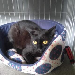 里親募集 生後約半年くらいの黒い雄猫の里親さんを探しています。