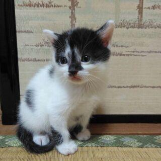 【全て決まりました】生後1か月の子猫の里親さんを募集します