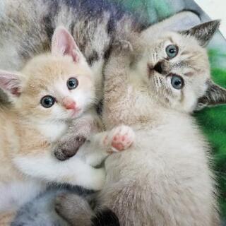 決定しました☆2匹兄妹(ダイリュートクリーム&ホワイト、シャム系)