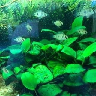 アロマロクロミストーマシーの幼魚