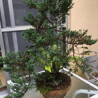ハイビャクシン 盆栽