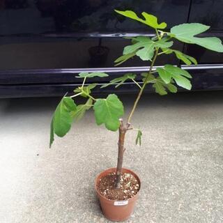 植物 果樹苗 イチジク ビオレソリエス