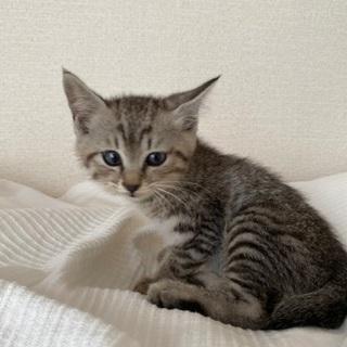 アメショ風のキジトラ子猫
