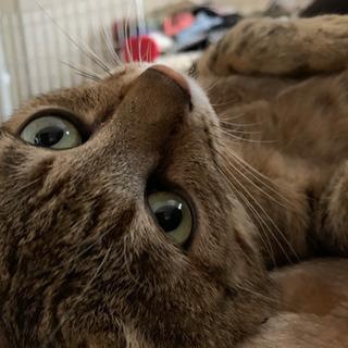 1歳位のキジトラ猫ちゃんです