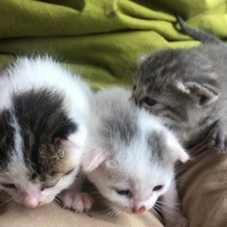 (募集停止中)仔猫3匹の里親募集