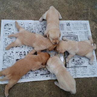5月19日に生まれたラブラドールの子犬達です。