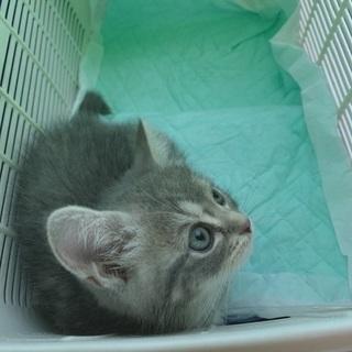 スコティッシュフォールド メス 子猫