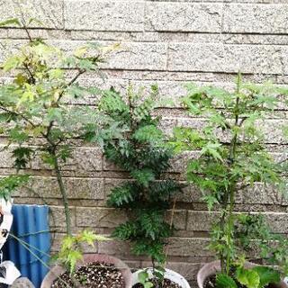 モミジと山椒の木